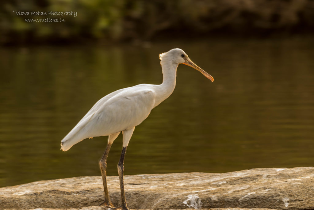 Yellow-Billed Spoonbill Bird