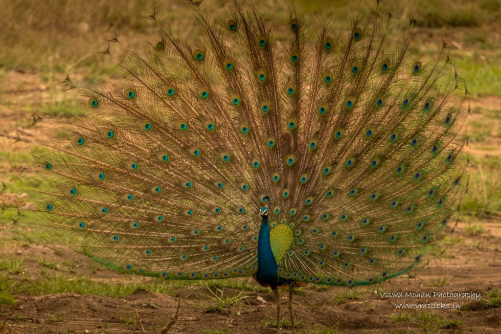 Peacock (Male peafowl) Feather Dance