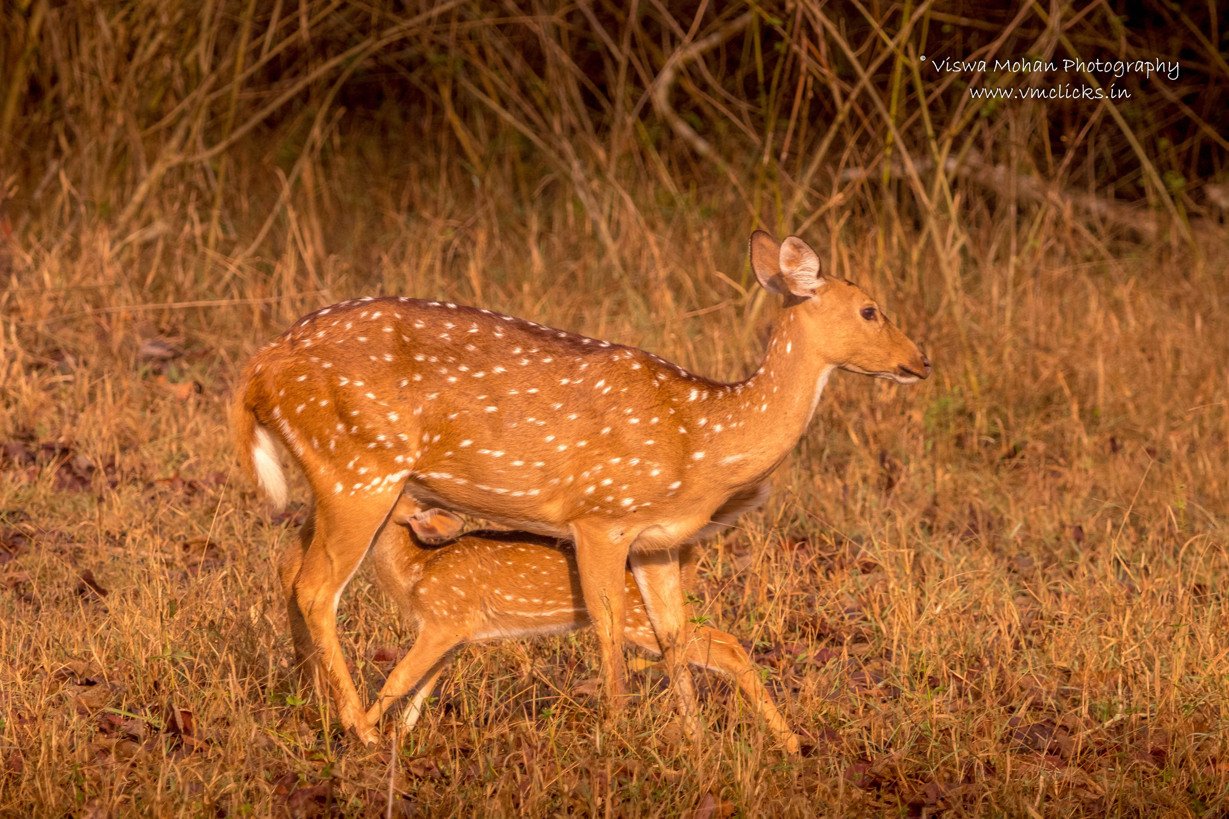 Spotted Deer Feeding Her Baby