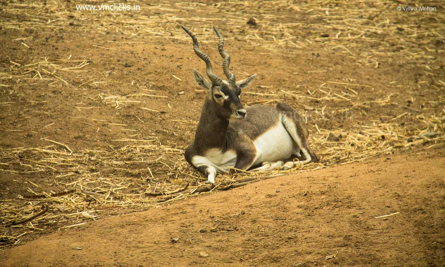 Black Buck Relaxing