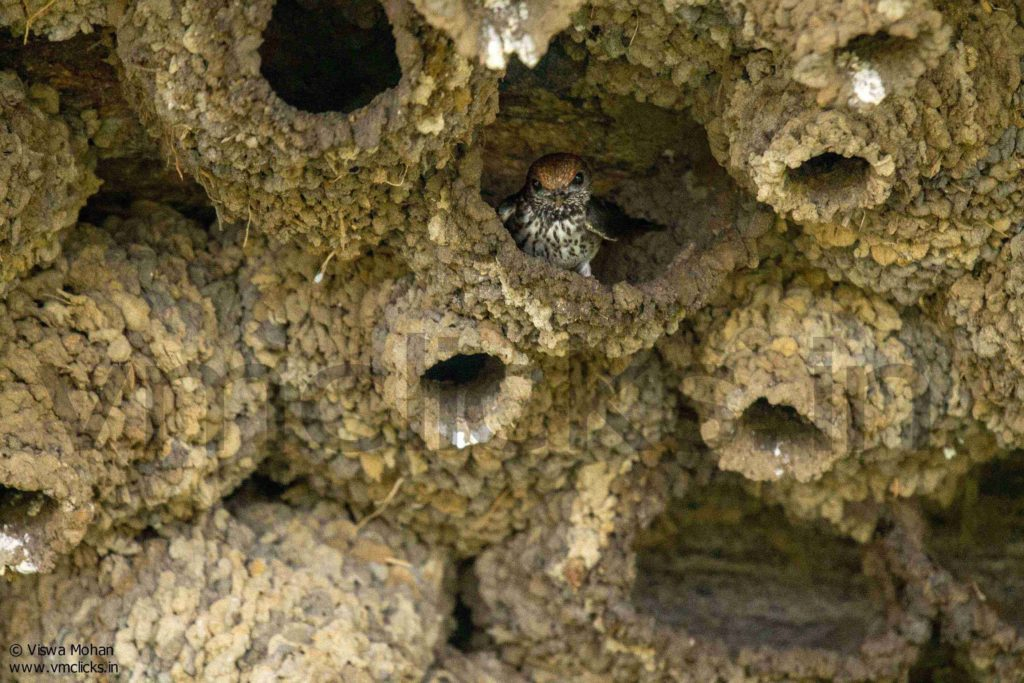 Mud nest of Swallows