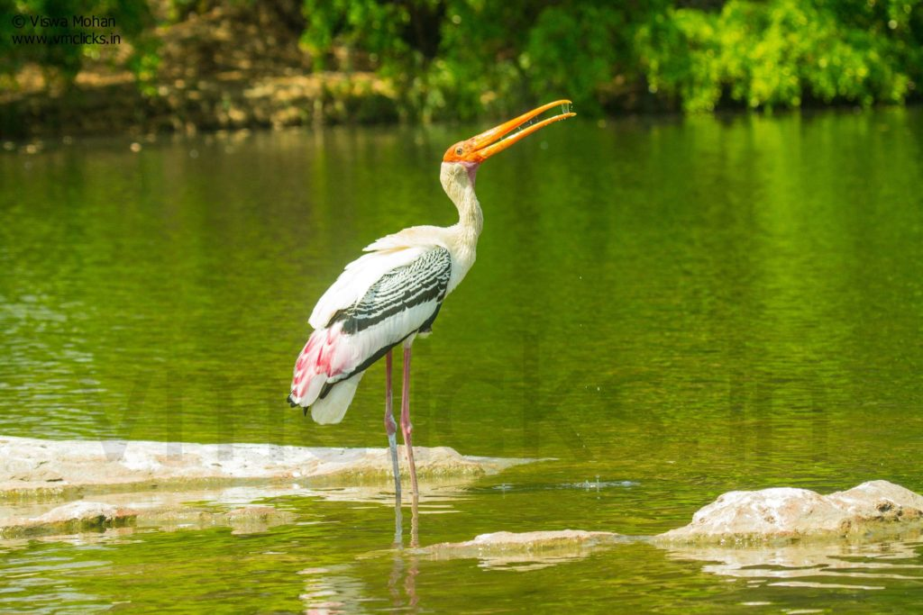 Painted Stork having fun in water