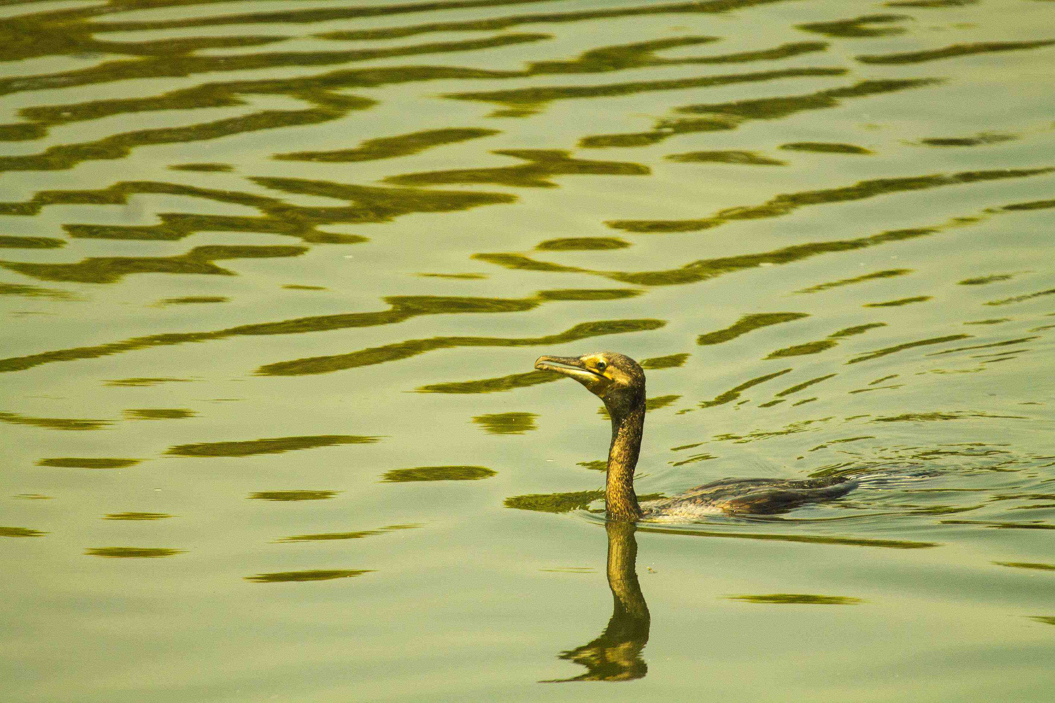 Indian cormorant swimming