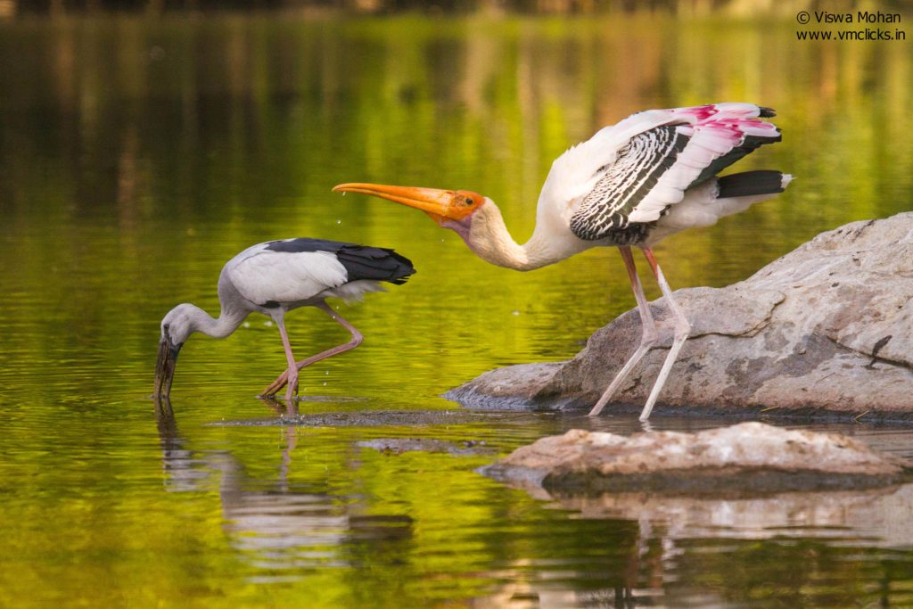 Friends Together .. Painted Stork and Asian Openbill Stork Birds