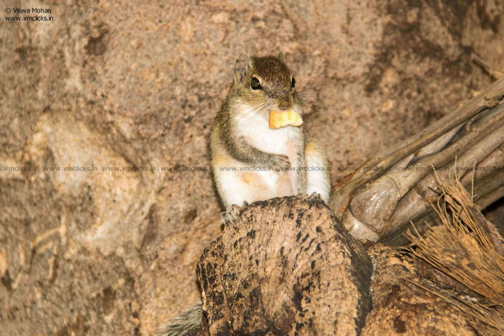Indian palm Squirrel having its food