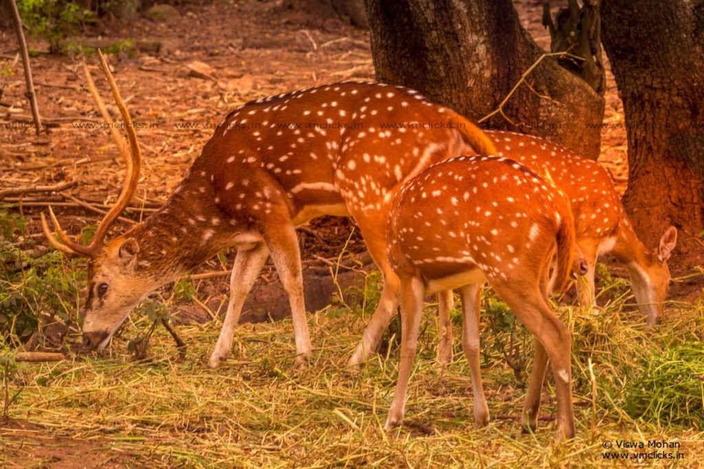 The Chital & its Family [Spotted Deer]