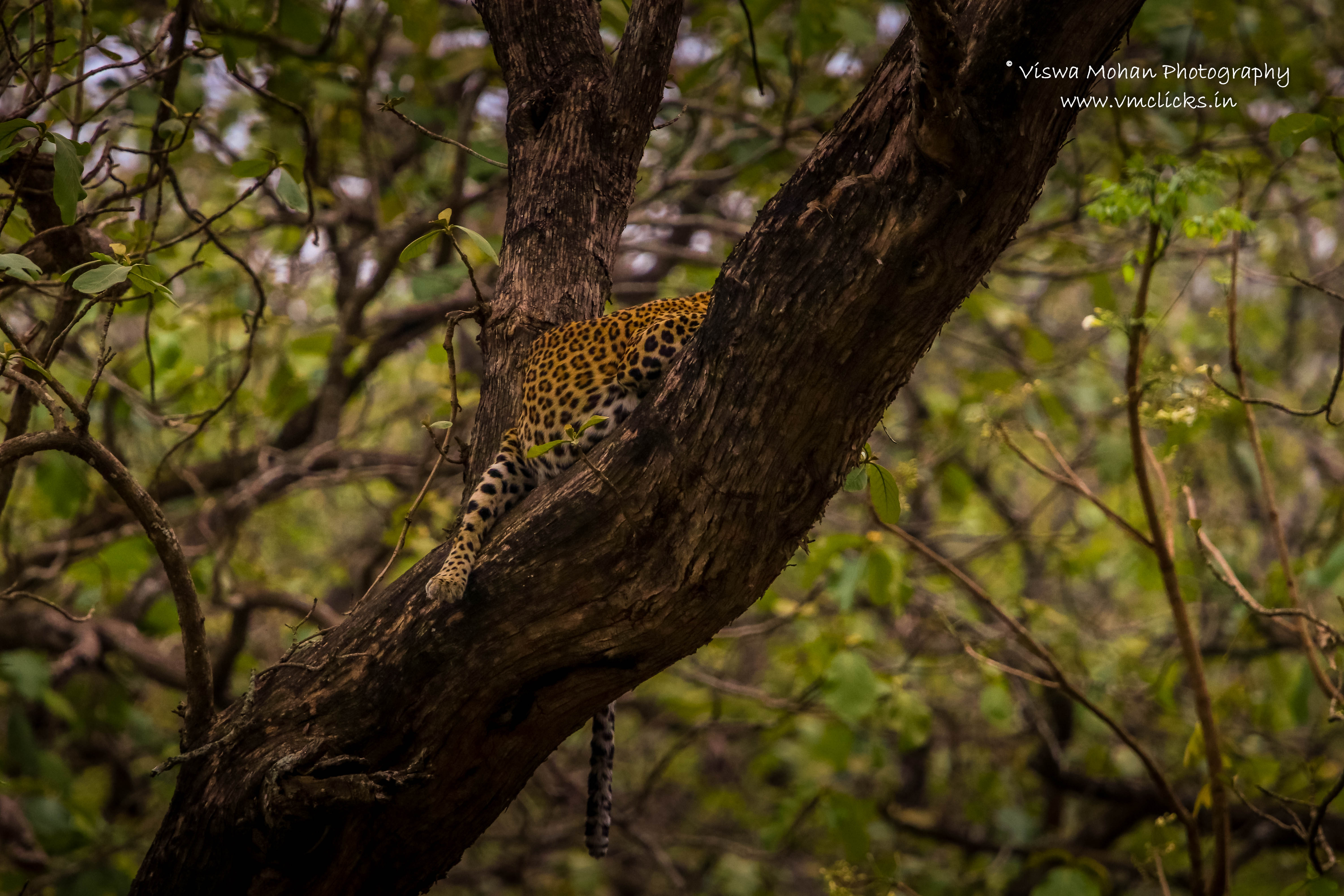 Indian Leopard sleeping in the middle of woods
