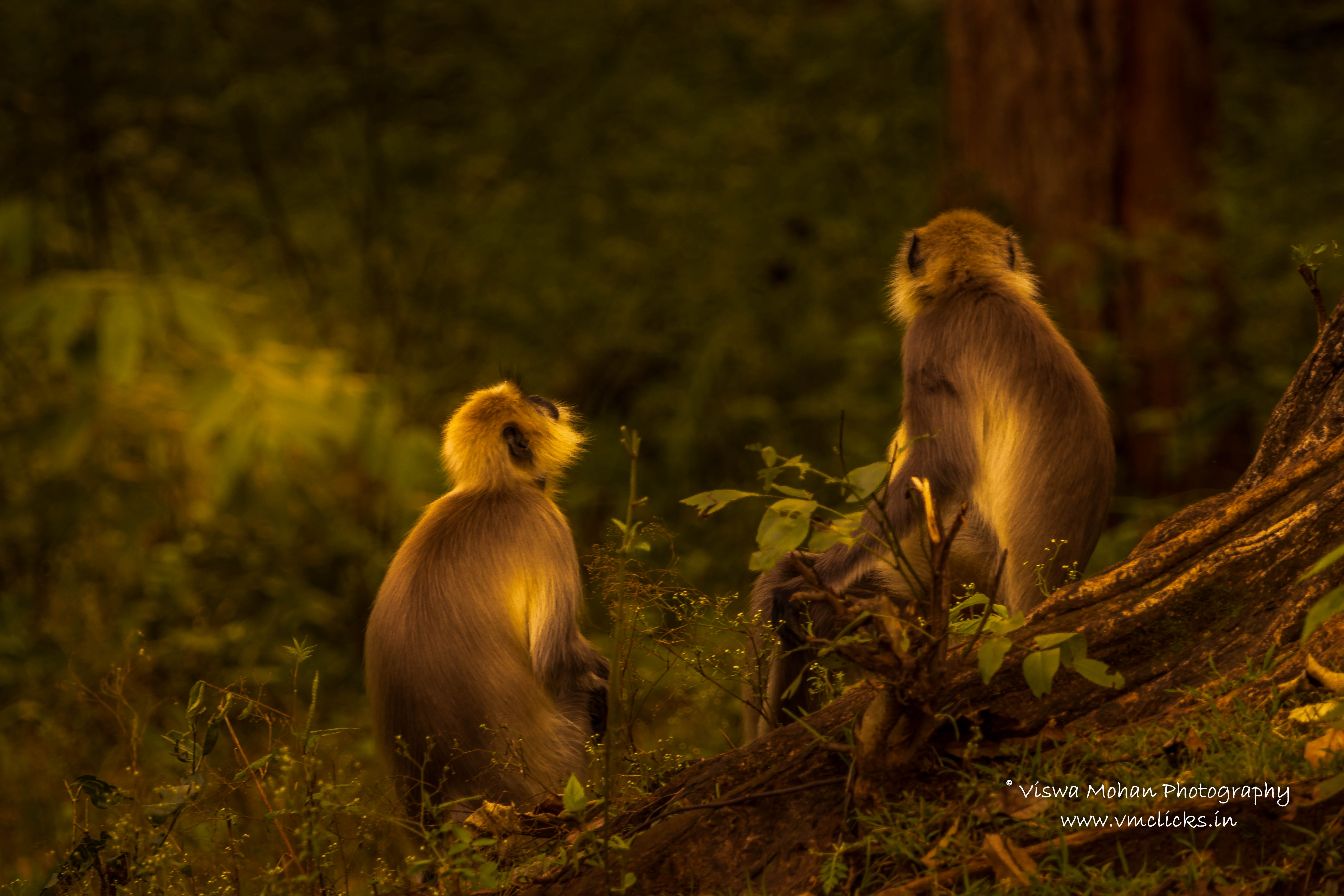 Langurs under the rays of sun (The Light)