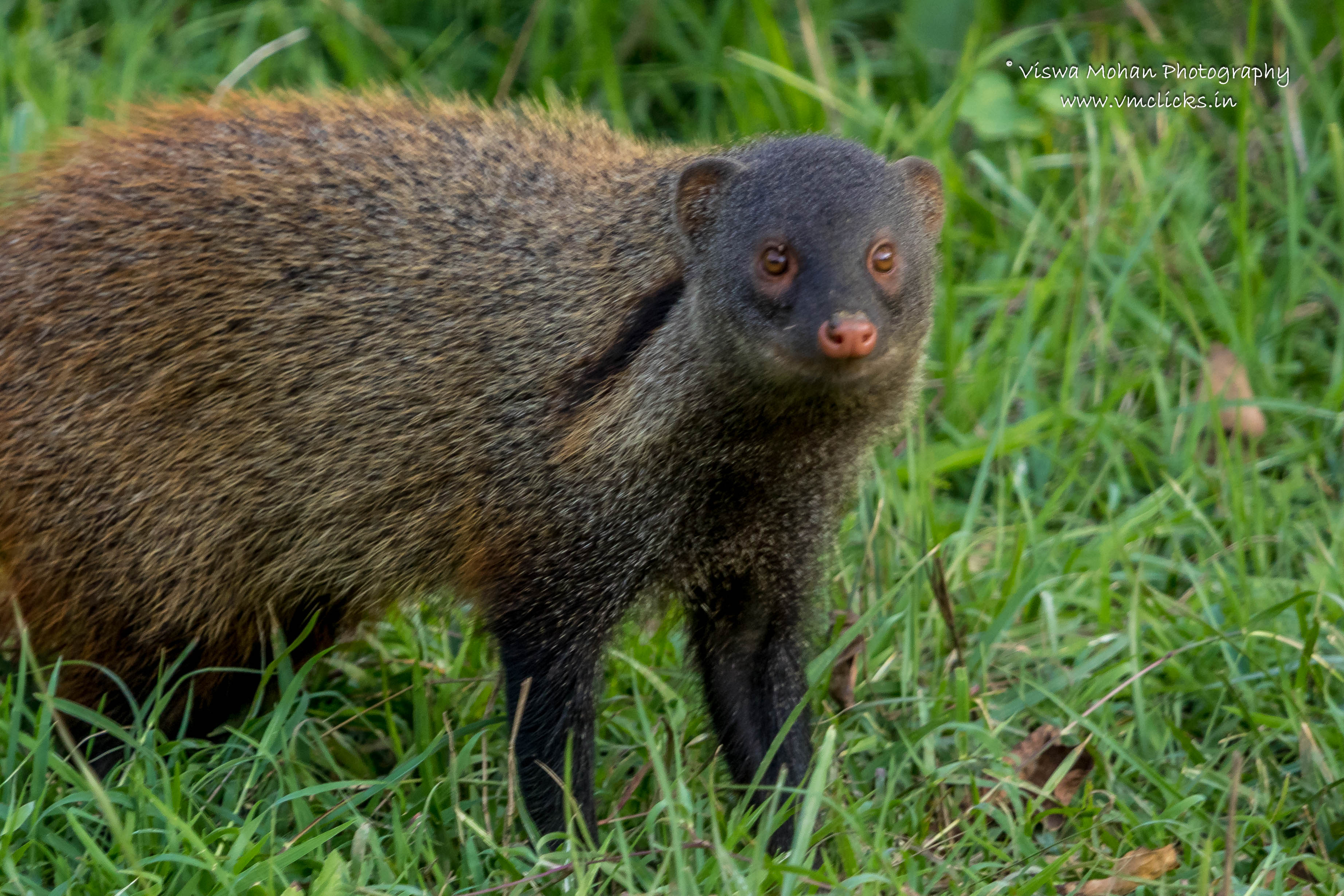 Indian Brown Mongoose Location: Bandipur Tiger Reserve