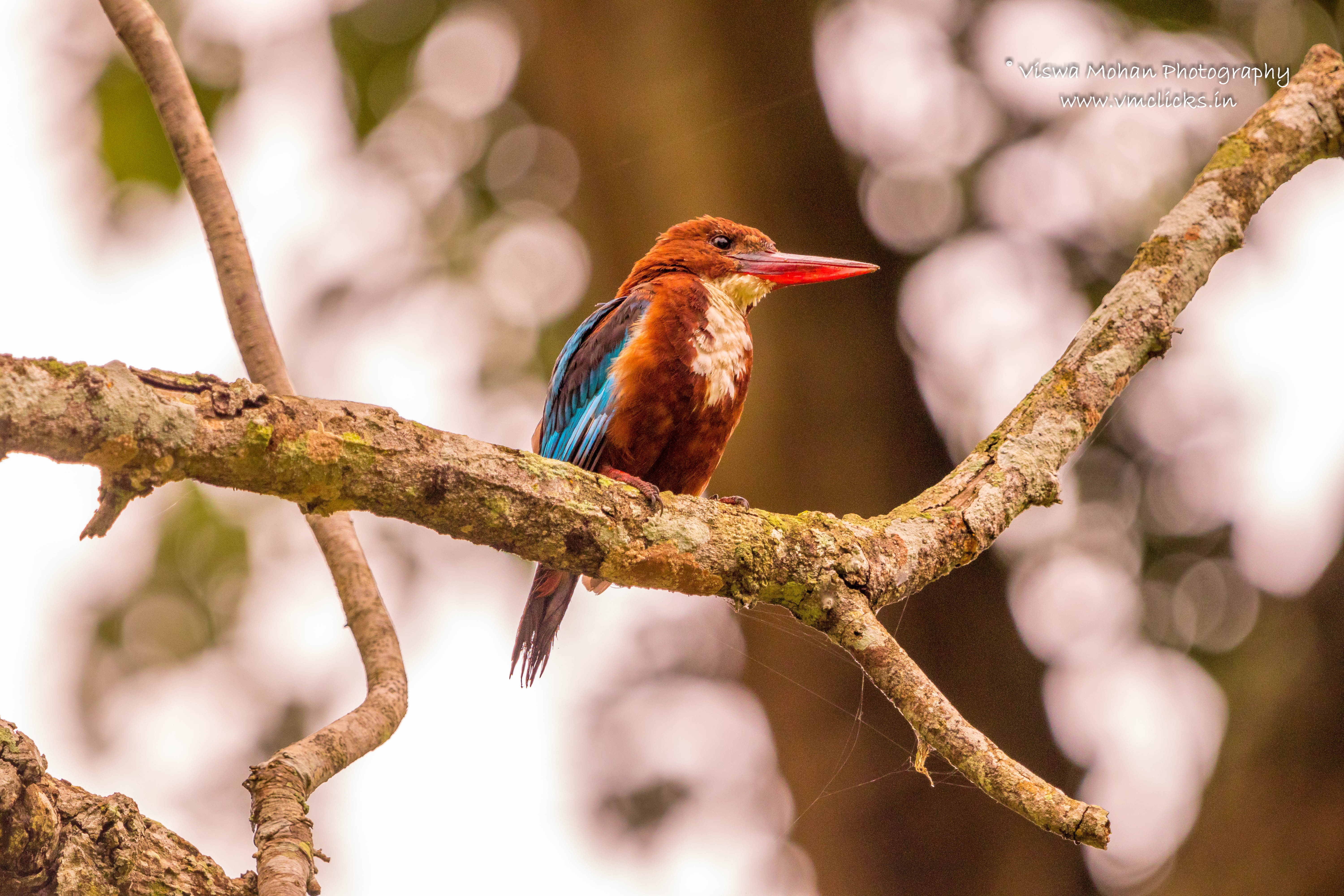 White-Throated Kingfisher @ Bandipur Tiger Reserve
