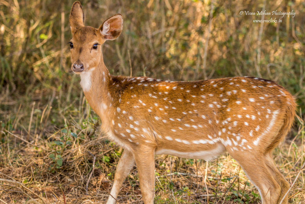 Spotted Deer Staring at Visitors @ Bandipur