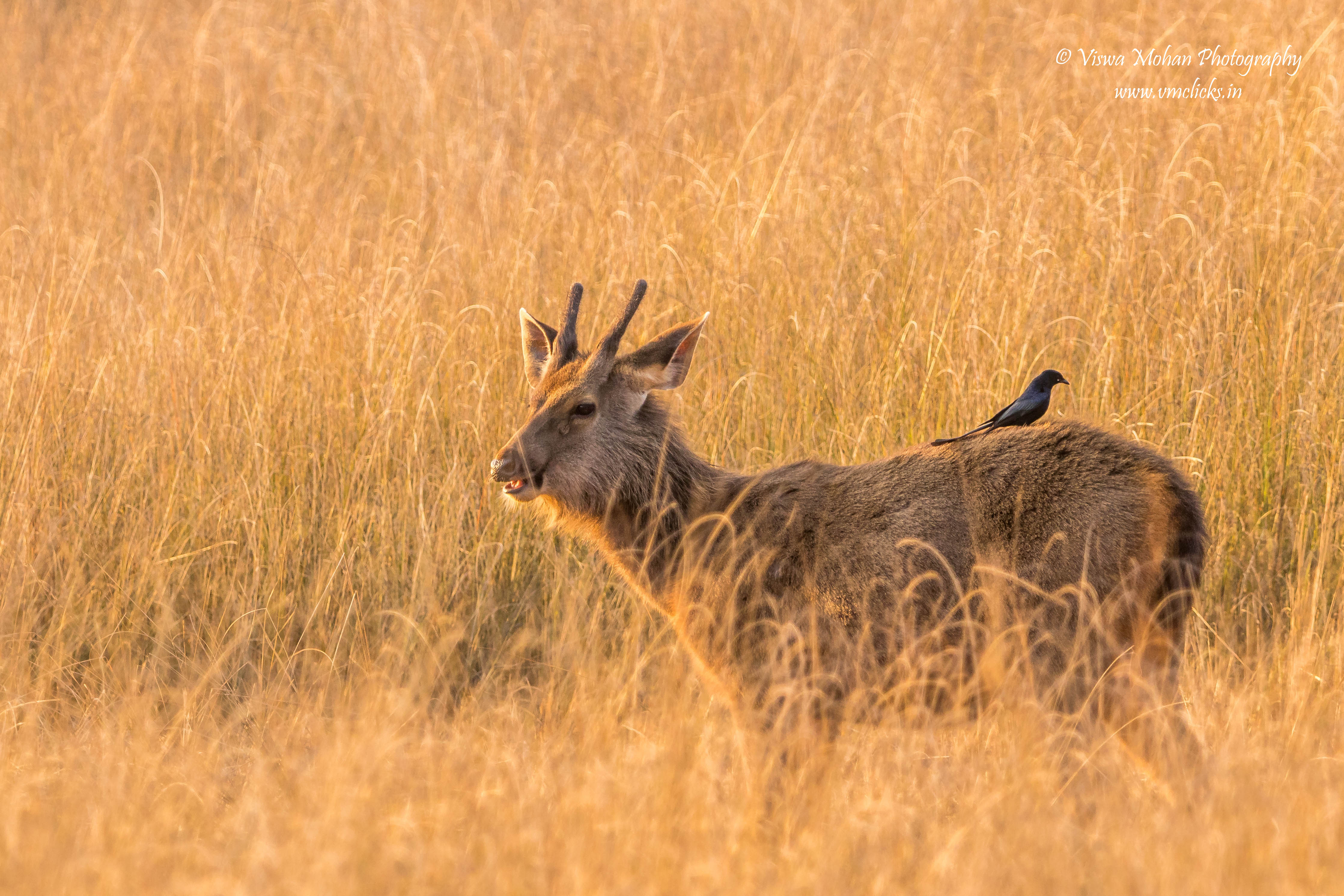 Sambar Deer @ Bandhavgarh National Park