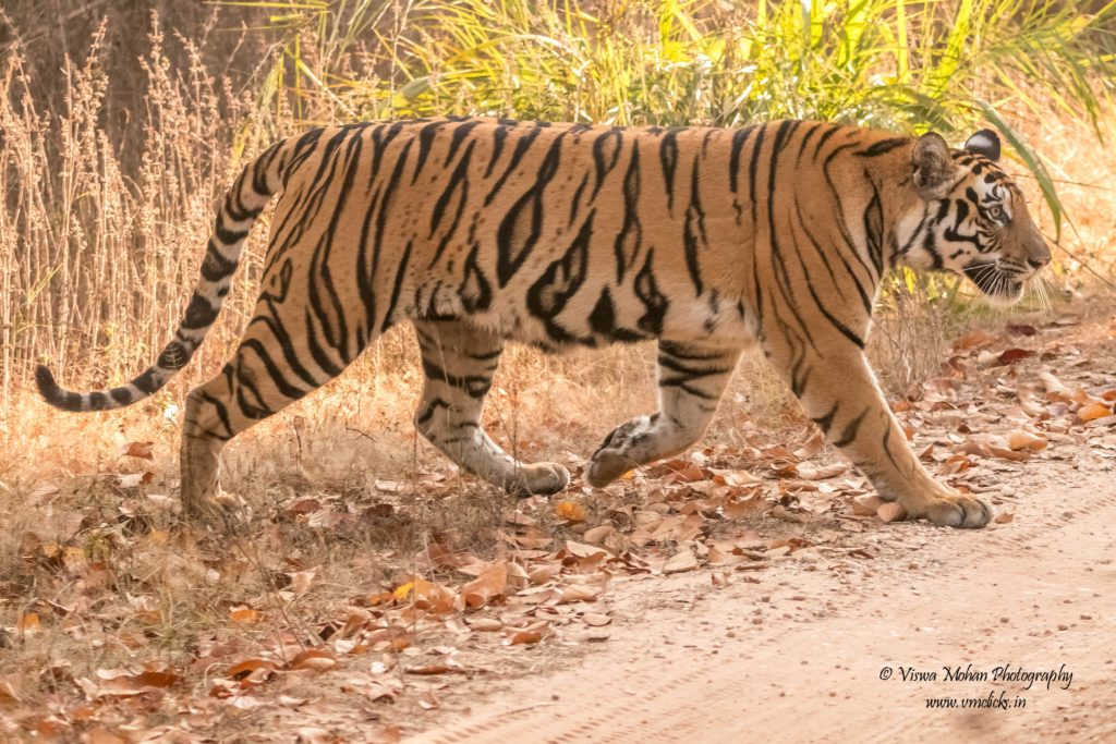 Female Tiger @ Khituali Zone