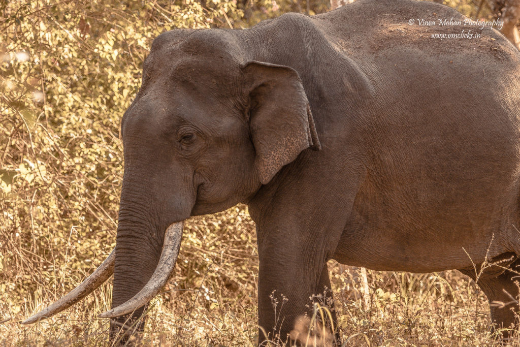 Asiatic Elephant @ Bandipur