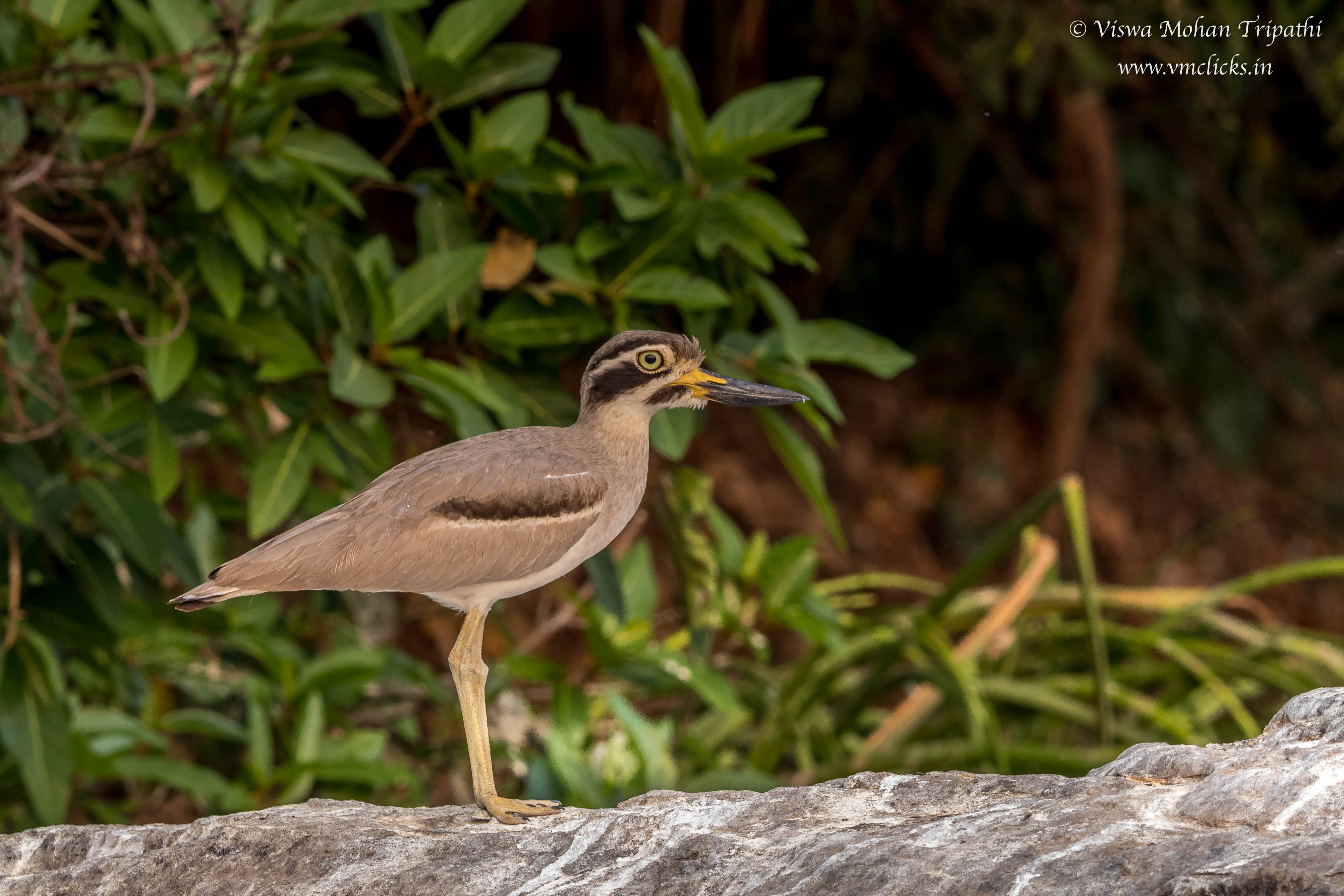 Indian Stone Curlew Bird