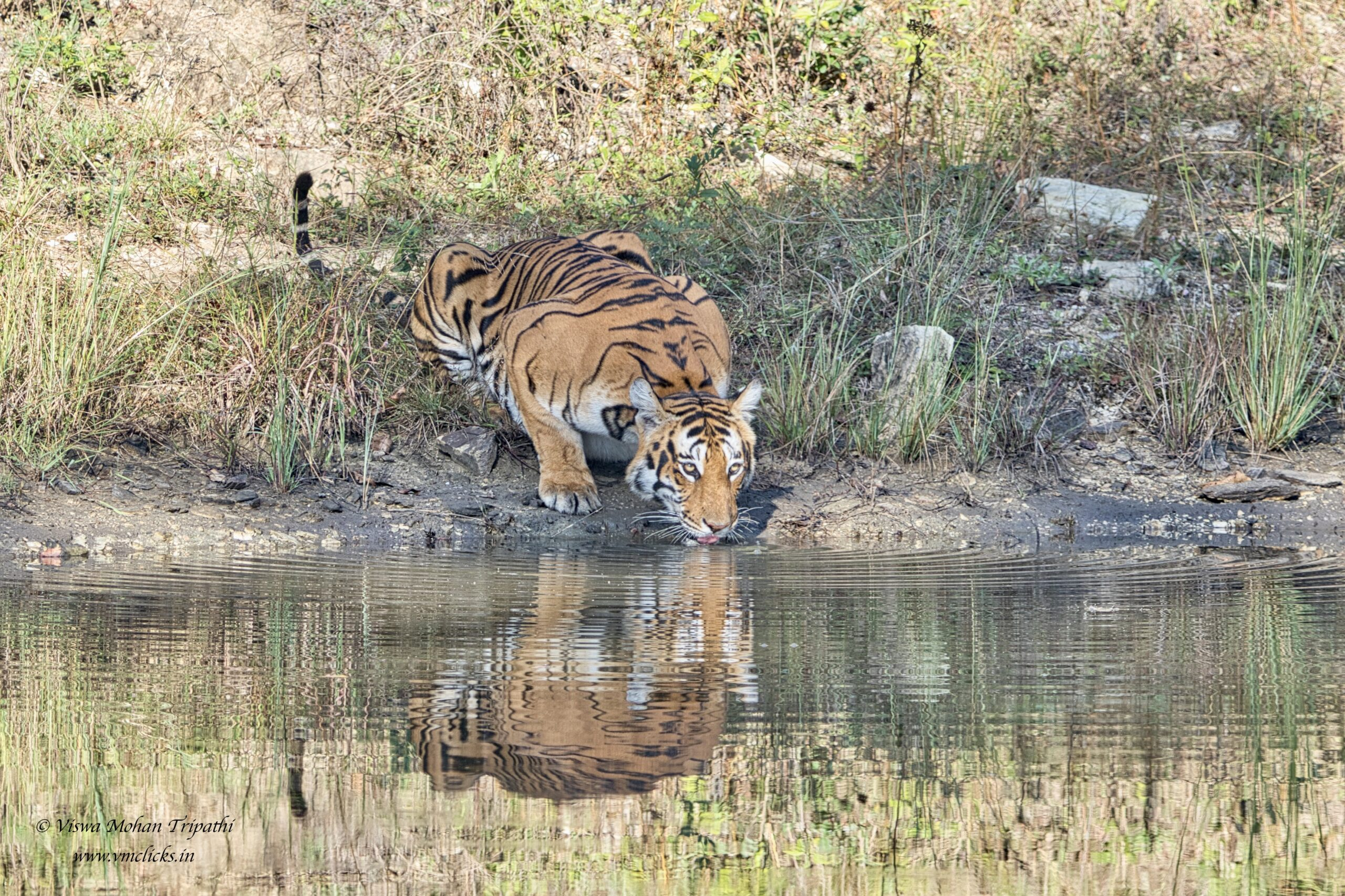 Tiger quenching thirst