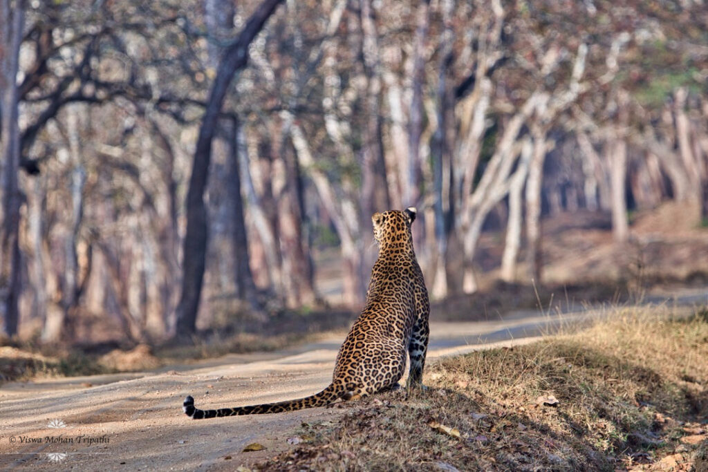Leopard watching its territory